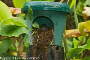 Puaiohi female in nest box, Kawaikoi Stream, 10 June 2011