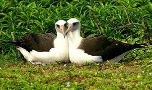 03-Laysan-Albatross