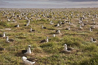 Laysan-Albatross-colony-Midway-Dec-2008-LR-8050-1