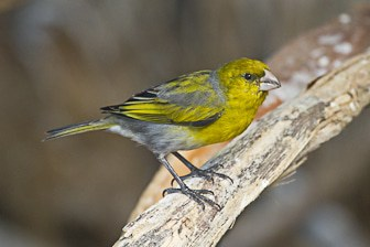 Nihoa-Finch-adult-male-Sep-2011-Eric-VanderWerf-3327-1