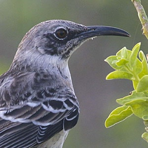 Birds of the Galapagos Islands