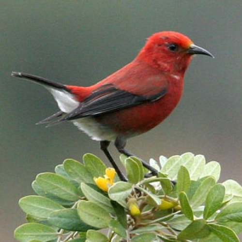 Hawaiian Forest Birds