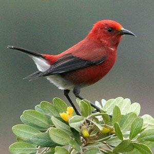 Hawaiian Forest Birds