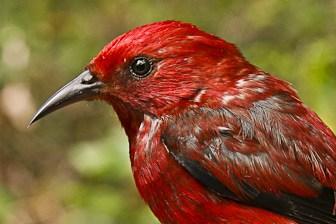 Apapane closeup Kauai-6782-1