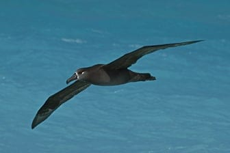 Black-footed Albatross Midway Feb 2012-2441101-1