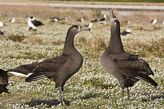Black-footed Albatross courtship Midway-7375-1