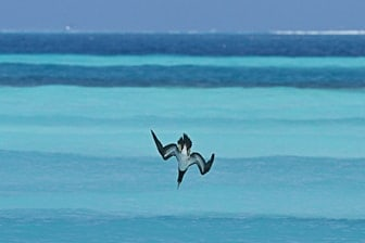 Brown Booby diving Midway Feb 2012 Eric VanderWerf-3172-1