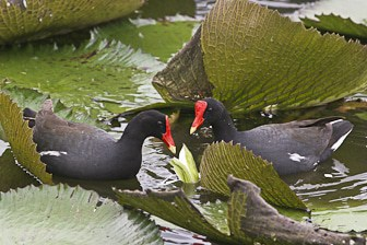 Hawaiian Gallinule Oahu-9500-1