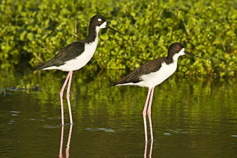 Hawaiian Stilt Pearl Harbor watercress farm-8506-1