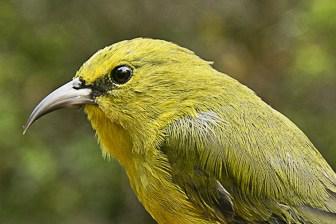 Kauai Amakihi male-6787-1