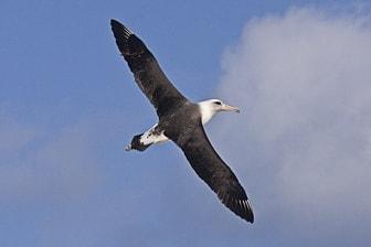 Laysan Albatross Midway Dec 2008 Eric VanderWerf-7140-1