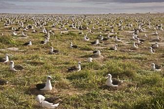 Laysan Albatross colony Midway Dec 2008 LR-8050-1
