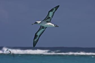 Laysan Albatross lagoon color Midway Dec 2008 LR-7940-1