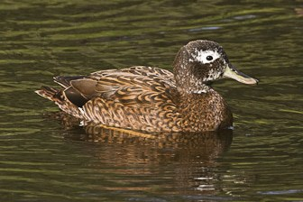 Laysan Duck Midway-7786-1