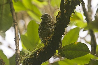 Puaiohi juvenile Halepaakai-6551-1