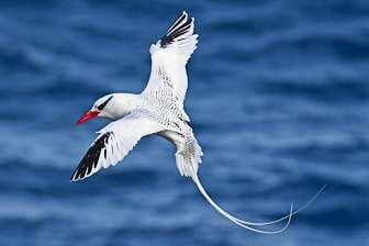 Red-billed Tropicbird Oahu original-3577-1
