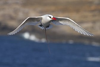 Red-tailed Tropicbird Oahu 13 May 2012-4270-1