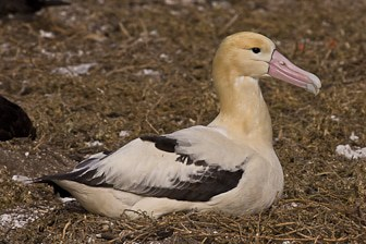 Short-tailed Albatross adult Midway-8003