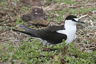 Sooty Tern Moku Manu Feb 2006-3409-1