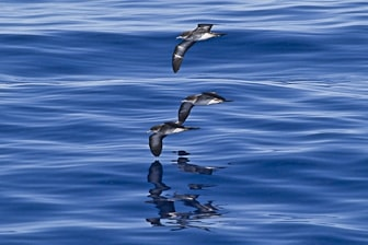 Wedge-tailed Shearwater Oahu 29 Sep 2010 Eric VanderWerf-8388-1