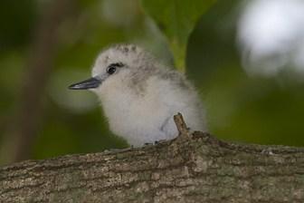 White Tern chick Midway Feb 2012 Eric VanderWerf-3097-1