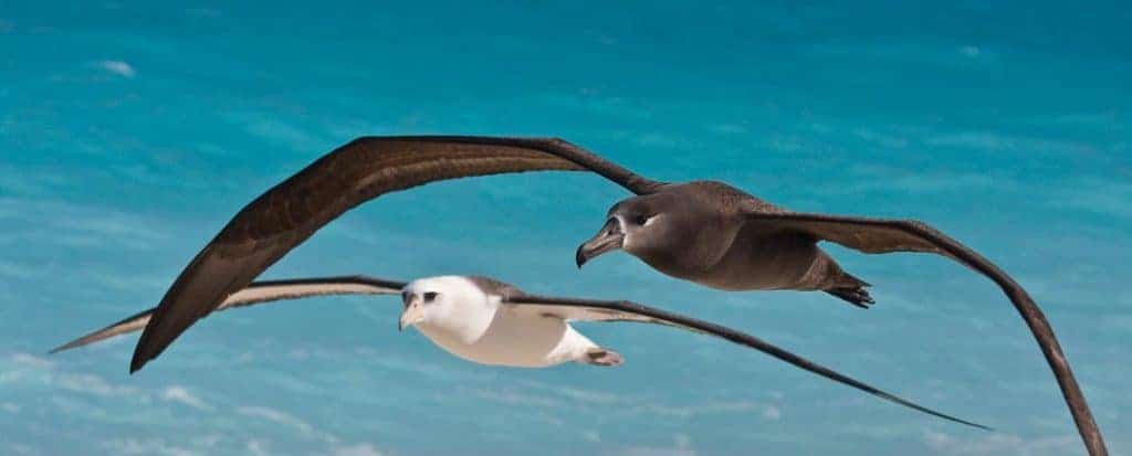 Black-footed+Laysan-Albatrosses-flying-Midway-7866-crop