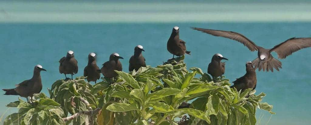 Brown-Noddies-Christmas-Island-0172-1