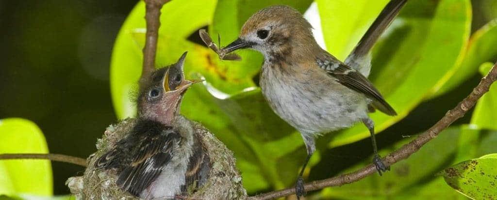 Oahu-Elepaio-nest-Palehua-9951-1