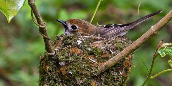 Elepaio in nest