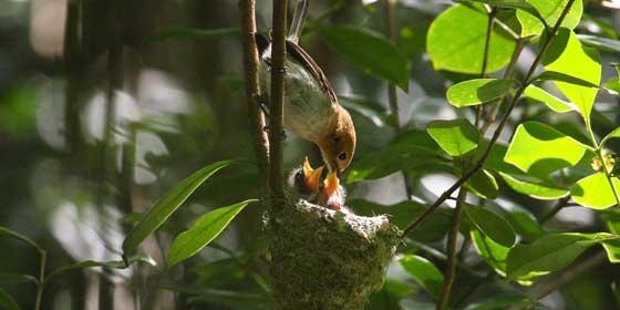 oahu-elepaio-nest-560